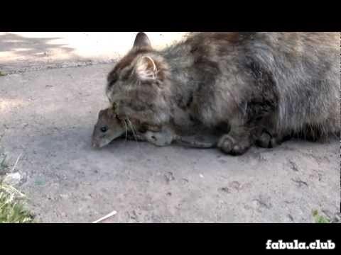 как крысы ловят кота