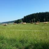 Коровы пасутся, Германия (Westerwald)