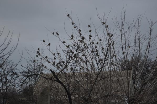 дерево плодящее птиц...