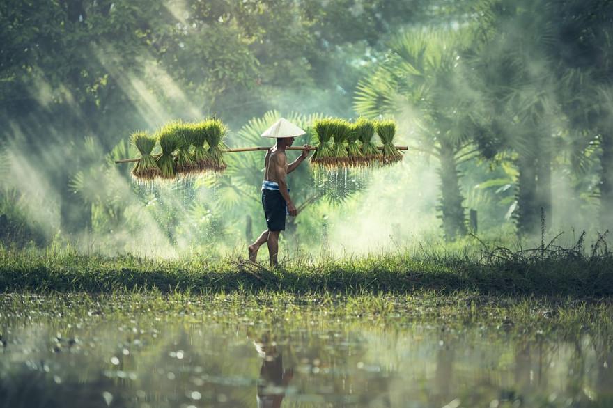 Урожай в Таиланде